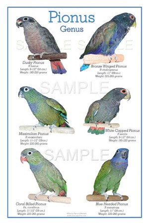 "Pionus Parrot Poster - 6 Species of Pionus - Fits in a standard 16"" x 20"" frame (not included)"